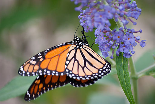 Monarch_butterfly_(6238192720)