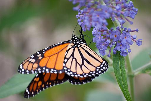 Monarch_butterfly_(6238192720)