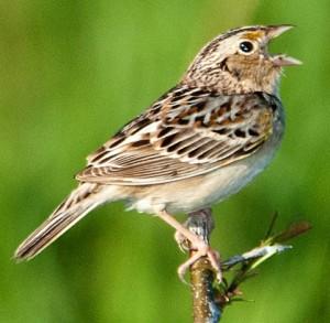 grasshopper_sparrow-1
