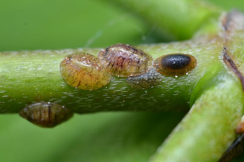 800px-Scale_insects_(7244837120)