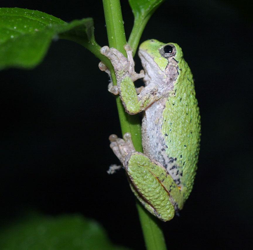 Gray_tree_frog