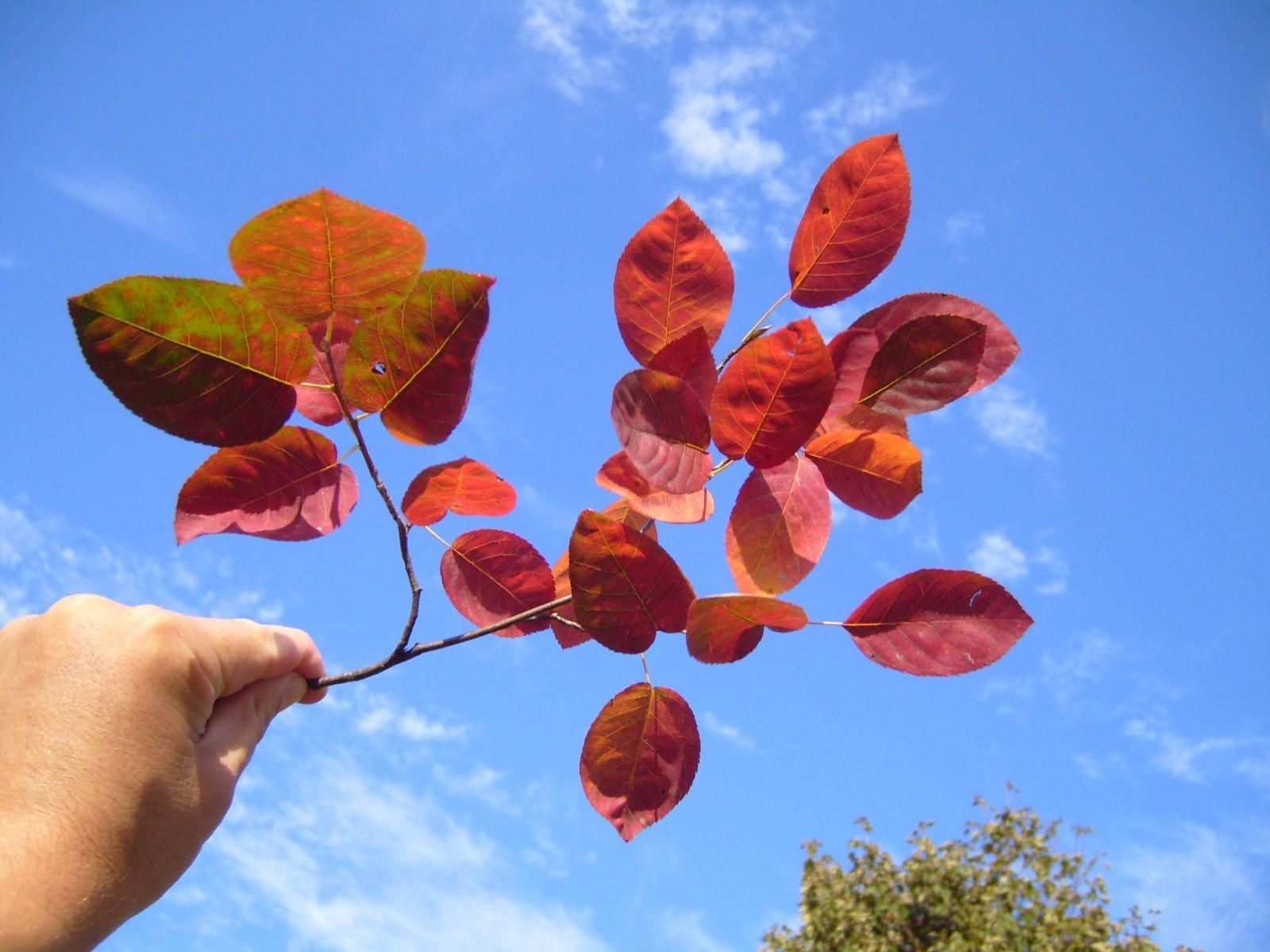 red-autumn-leaves-branch-in-hand